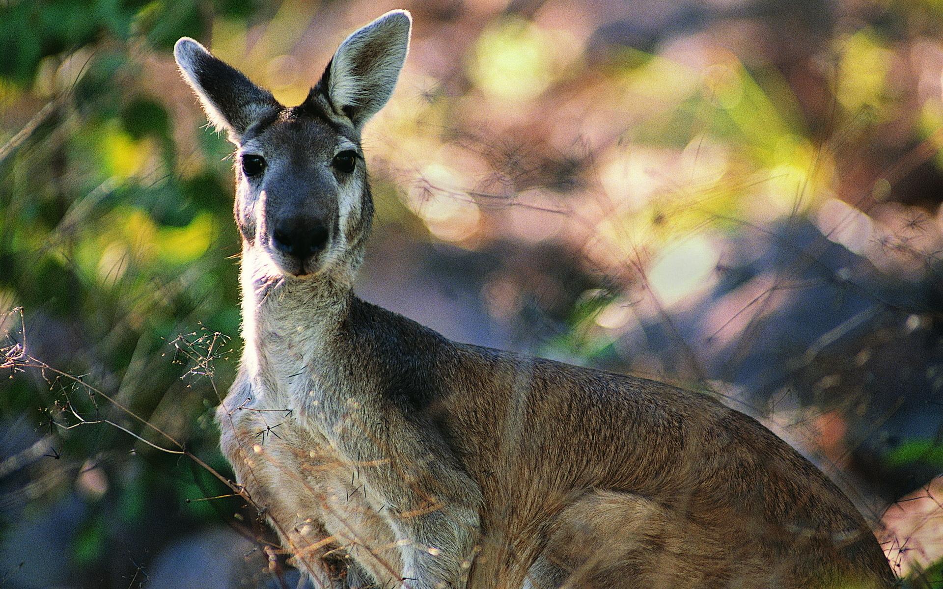 Free Download Cute Flowers Wallpapers Kangaroo Nature Hd Desktop Wallpapers 4k Hd