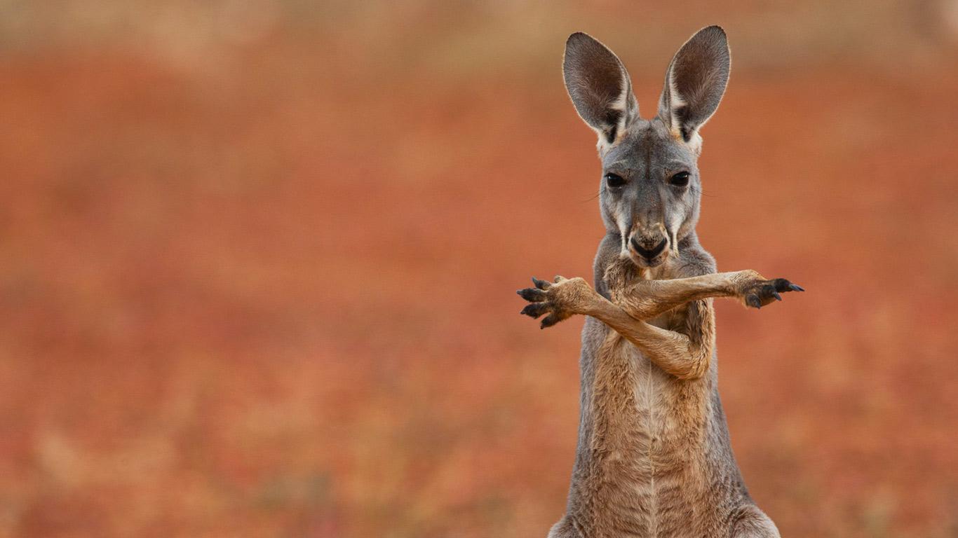 Cute Cool Wallpapers Free Kangaroo Wallpapers Hd Desktop Wallpapers 4k Hd