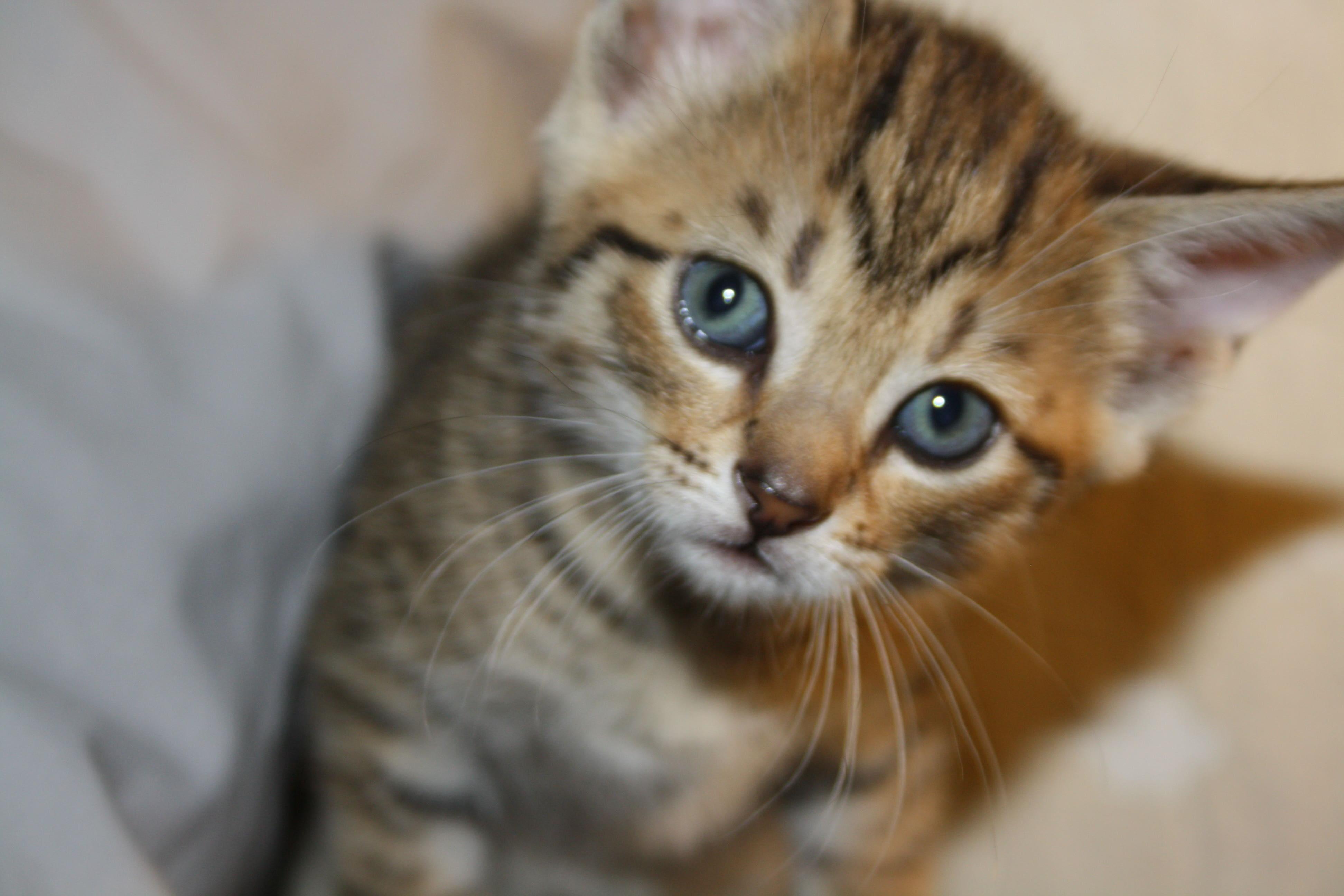 Cute Kitten Wallpaper Free Kittens Wallpapers Hd Desktop Wallpapers 4k Hd