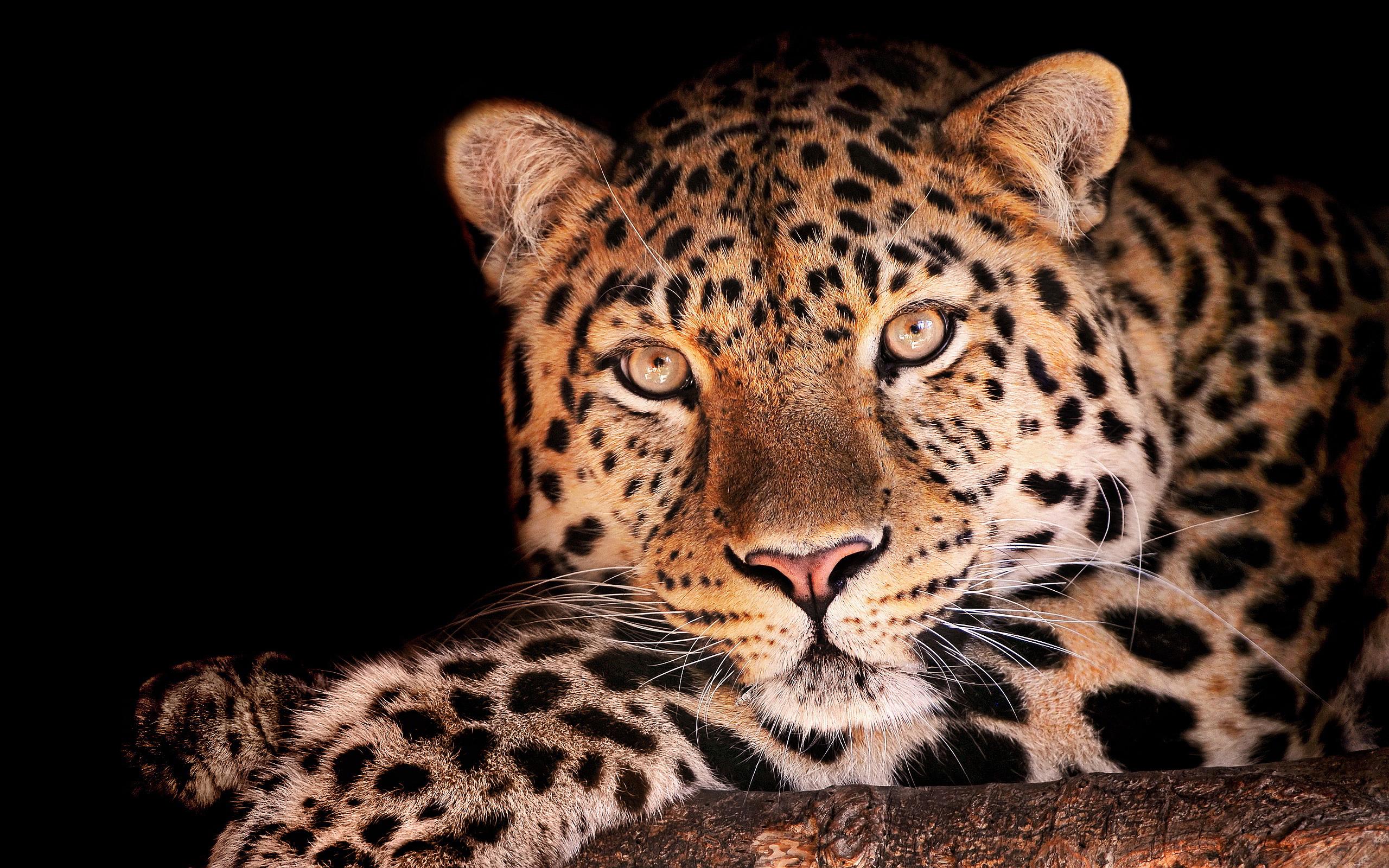 Animal Print Desktop Wallpaper Leopard Eye Hd Desktop Wallpapers 4k Hd