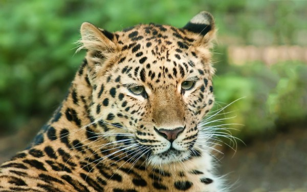 Leopard Animal Close Up Photography