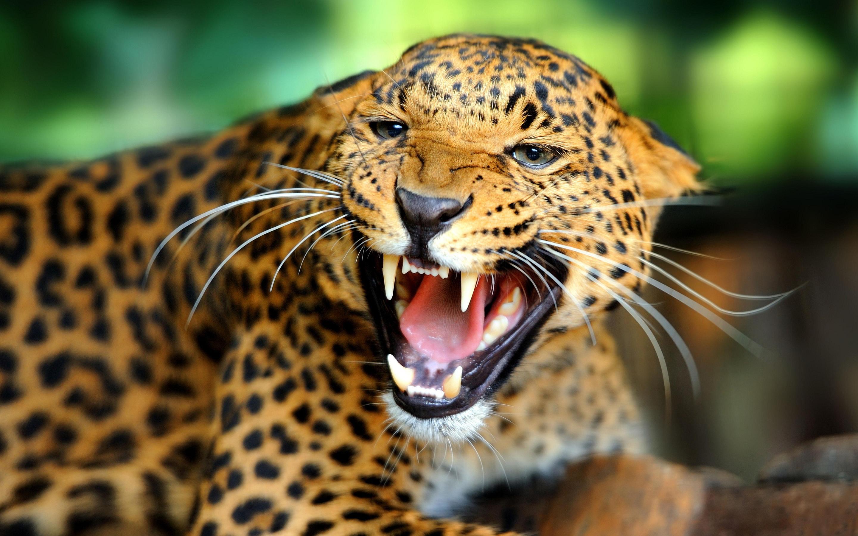 Nos Cars Wallpaper Leopard Wallpaper Angry Hd Desktop Wallpapers 4k Hd