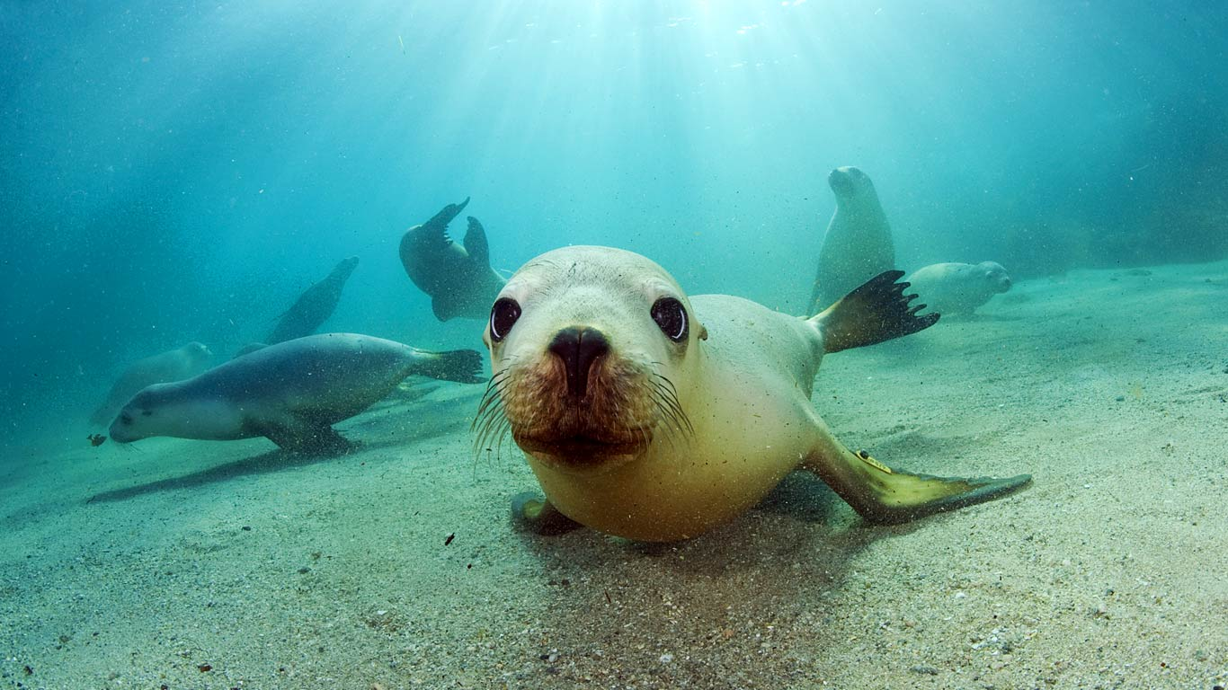 Cute Baby Seals Wallpapers Seal Wallpaper Hd Desktop Wallpapers 4k Hd