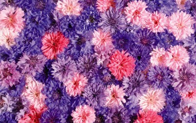 flower cute pink backgrounds wallpapers desktop 4k hd