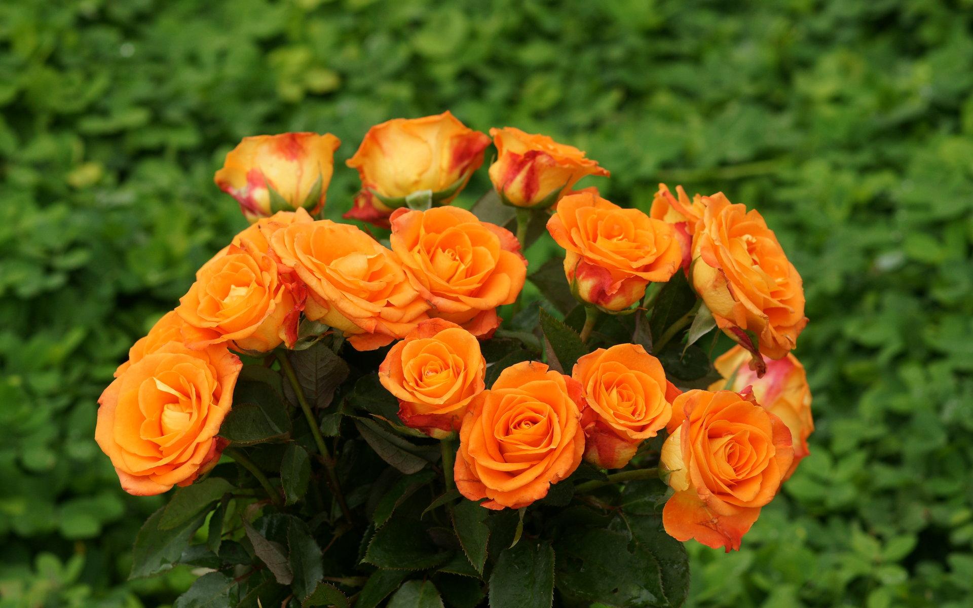 Cute Rose Wallpaper Free Download Rose Wallpaper Download Hd Desktop Wallpapers 4k Hd