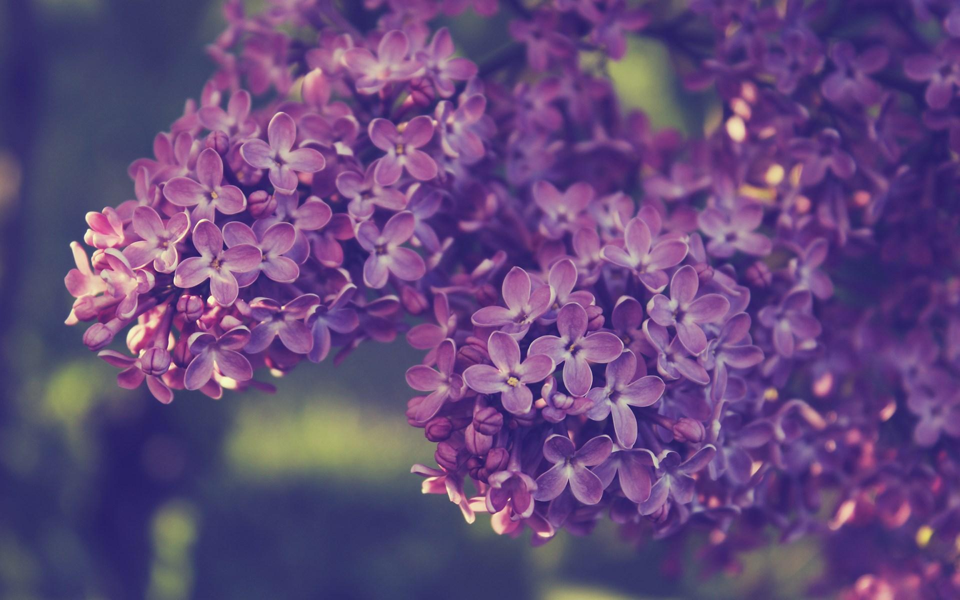 Cute Wallpapers For Laptop Esthetic Syringa Lilac Flowers Hd Desktop Wallpapers 4k Hd