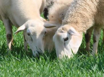 sheep-grazing-closeup
