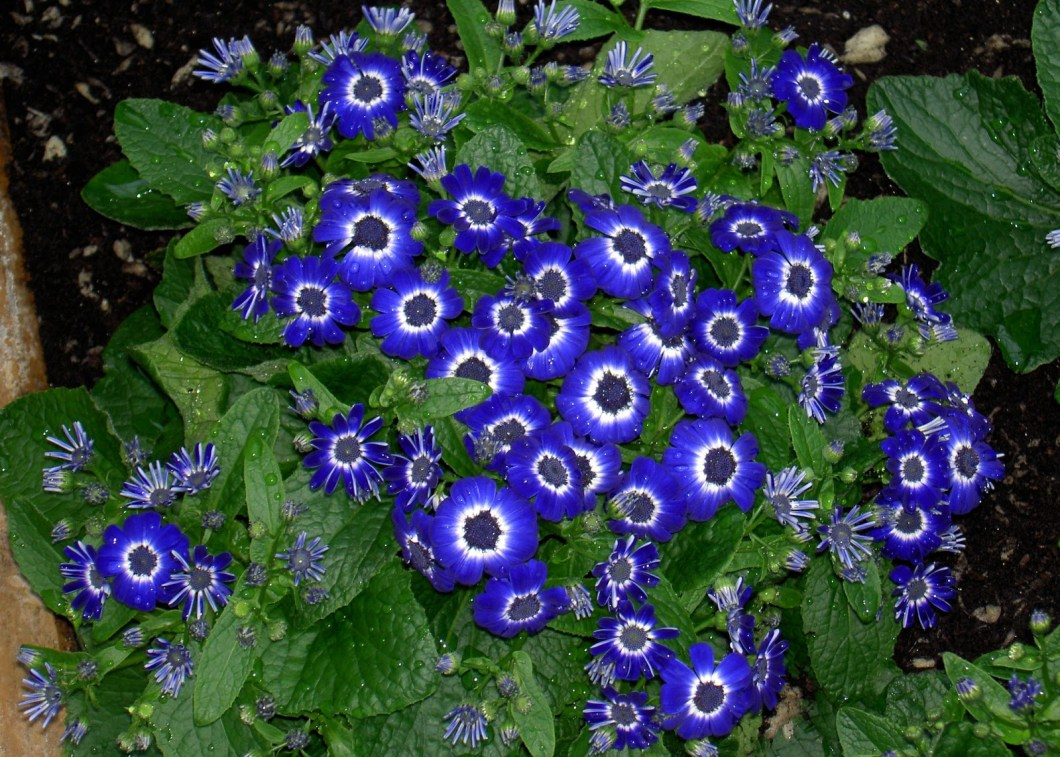 Pictures of blue flowers and their names wallpapergenk list of blue flowers 12 background wallpaper hdflowerwallpaper com izmirmasajfo Gallery
