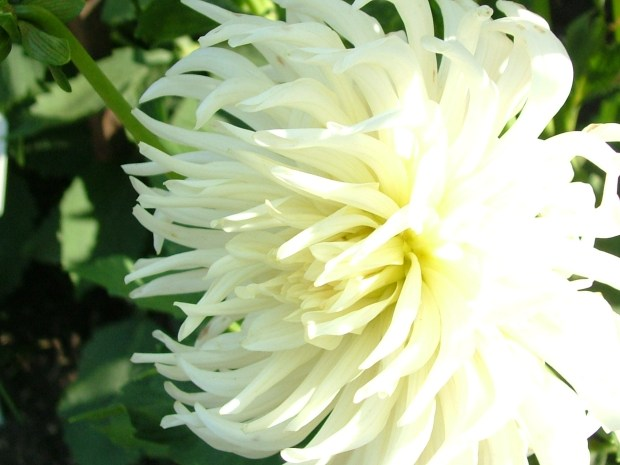 All white flowers home design ideas large white flowers mightylinksfo