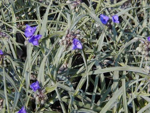 Www 3d Flower Wallpaper Com Purple Flowers Perennials 16 Wide Wallpaper