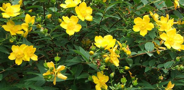 yellow flower bush 17 desktop background