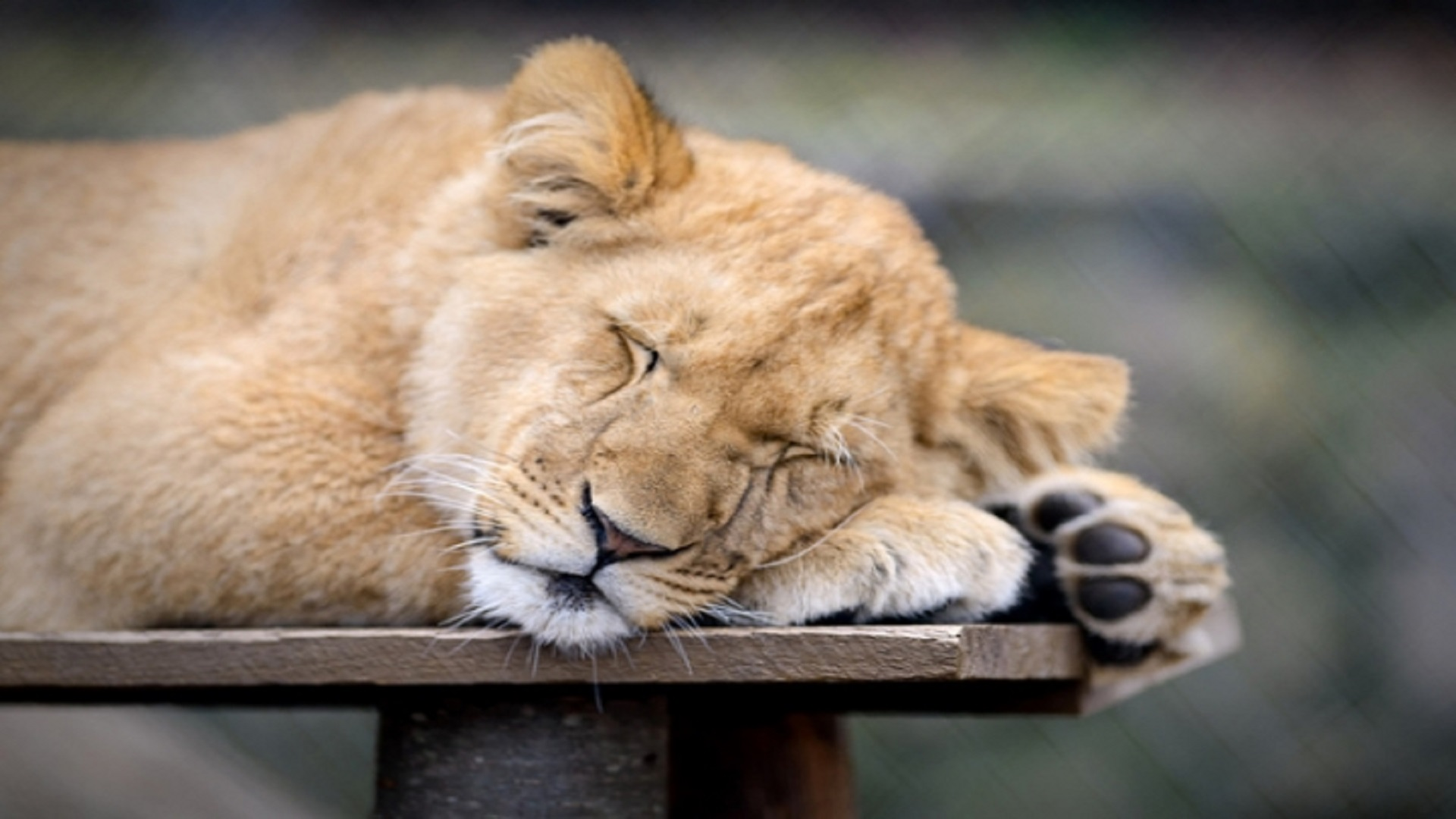 3d Birthday Wallpaper Sleeping Lion Africa Hd Free Wallpapers Hd Wallpaper