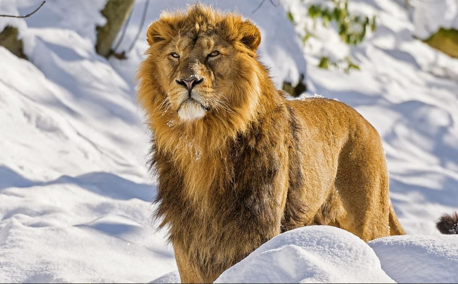 Lion Attack Images HD Wallpaper