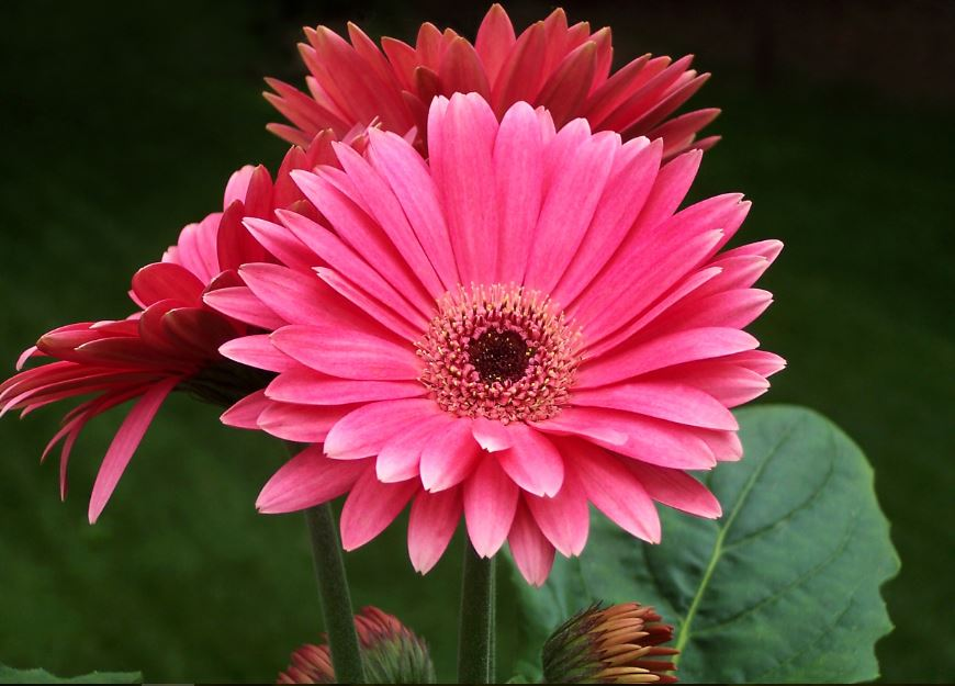 Awesome Wallpapers For Desktop 3d Gerbera Wallpapers Images Hd Free Download Gerbera History