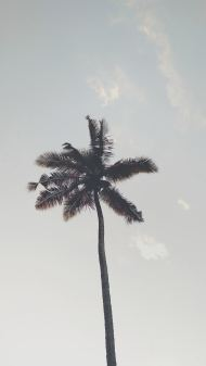 palm tree from bottom to top iphone mobile background