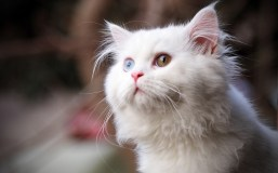 white cat with different eyes mobile iphone wallpapers