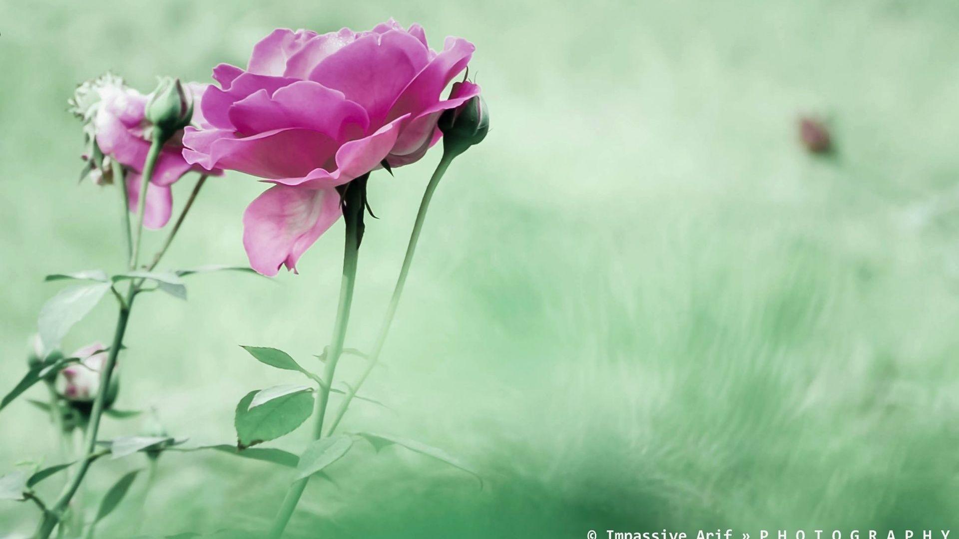 Herunterladen 1920x1080 Full HD Hintergrundbilder rosen