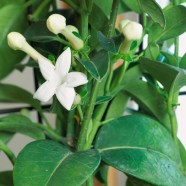 54 Of The Best Smelling Houseplants 35