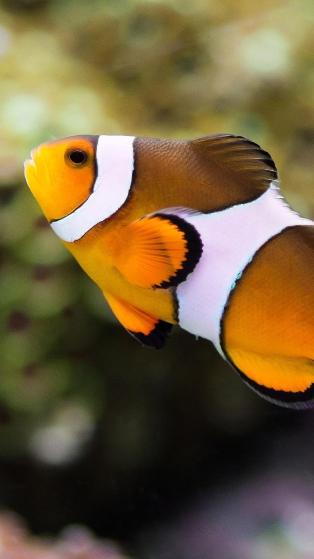 Apple Clownfish Wallpaper Iphone X 1080x1920 Clownfish Iphone 7 6s 6 Plus Pixel Xl One Plus