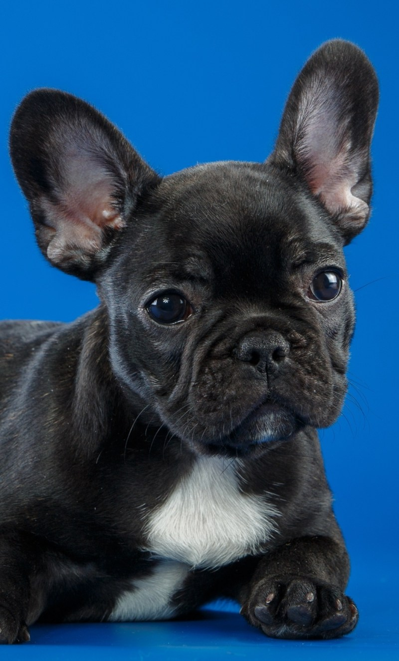 Especial Black French Bulldog Puppy Iphone Hd Wallpapers