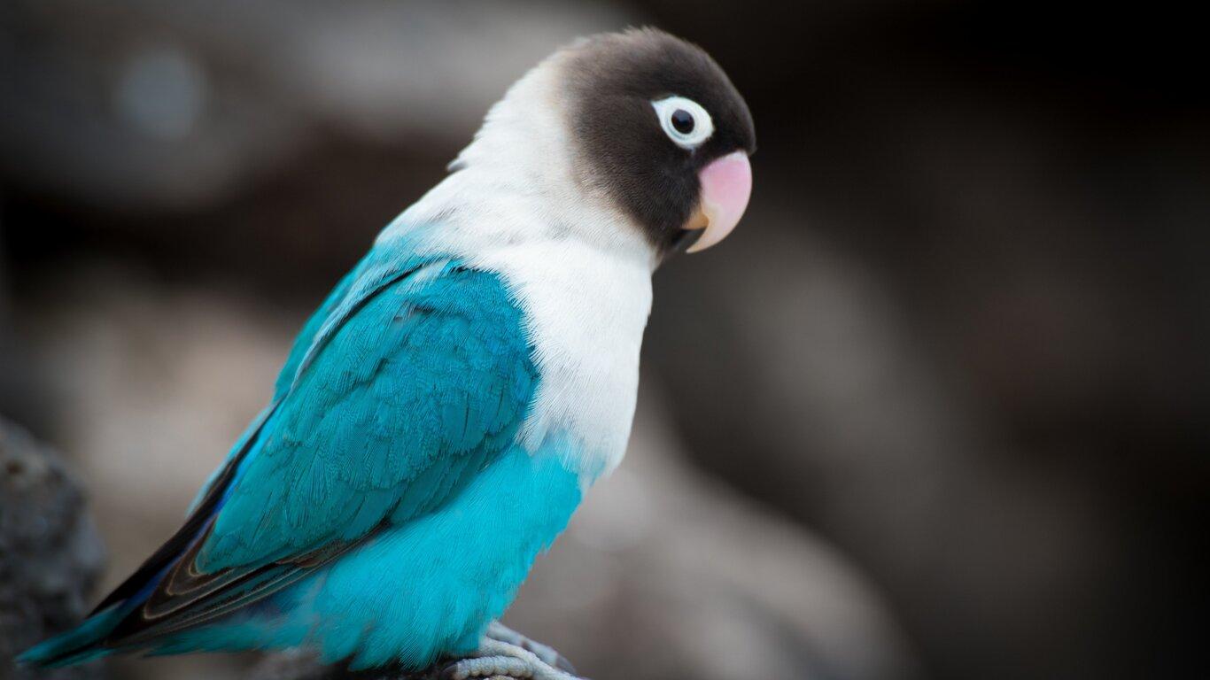 1366x768 love bird 1366x768