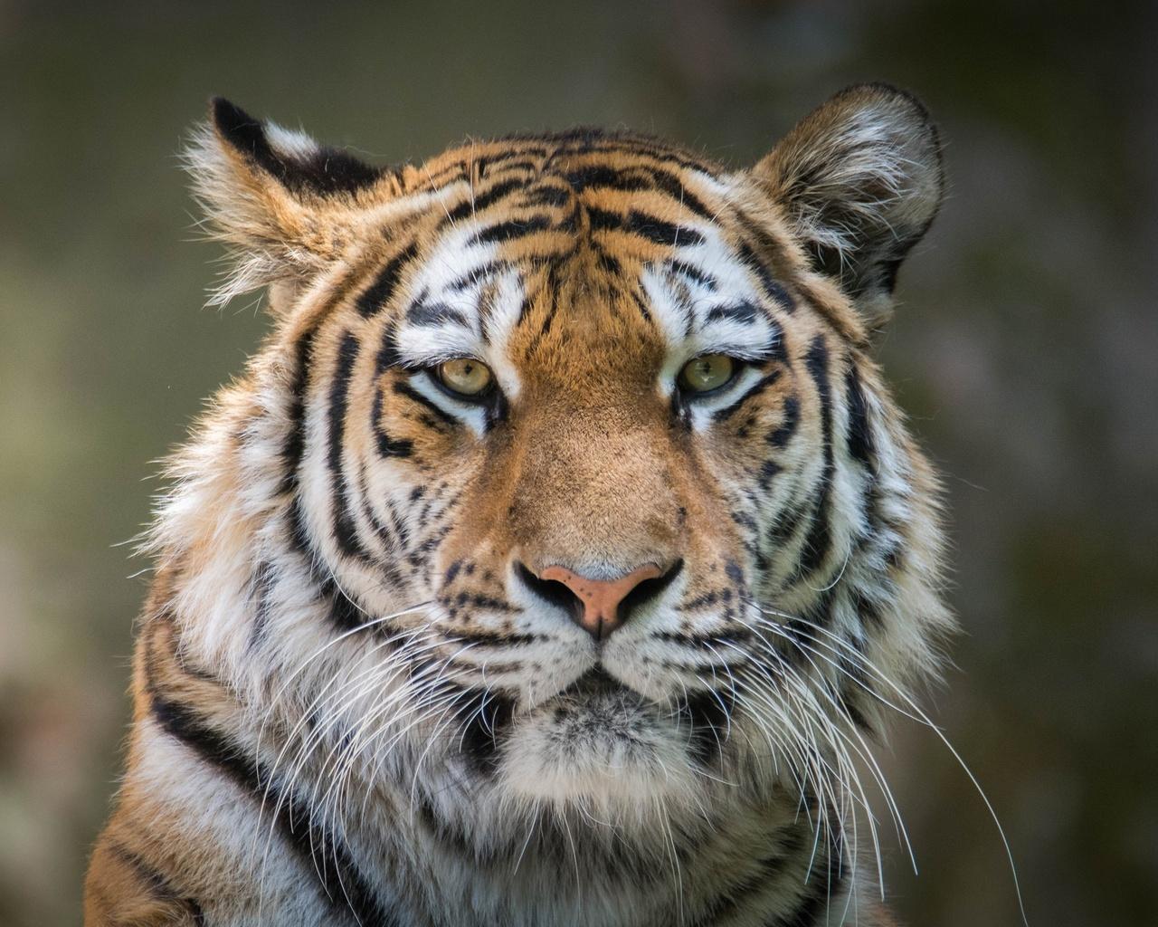 1280x1024 tiger 4k hd