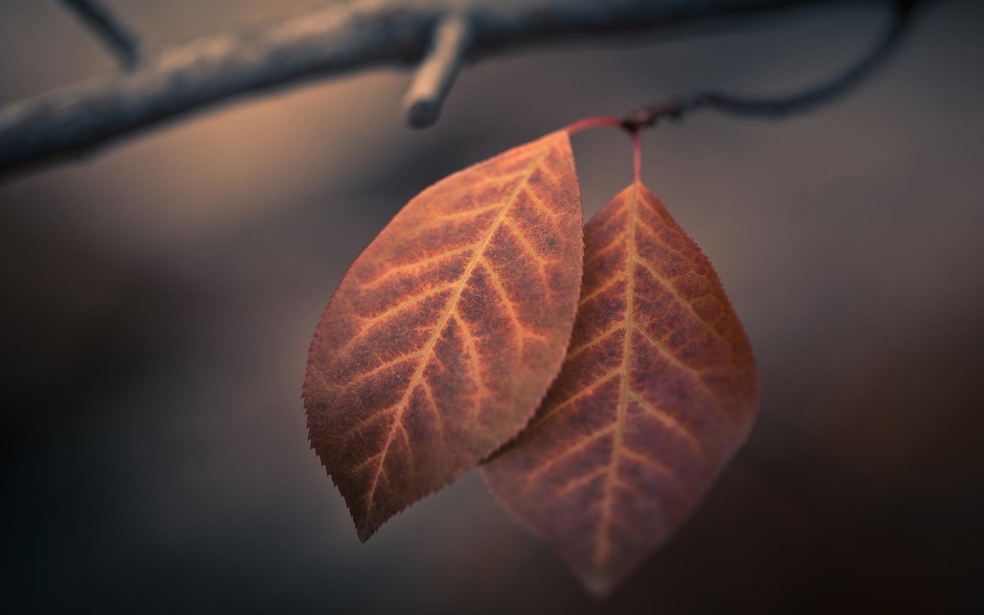 Fall Leaves Falling Wallpaper Autumn Macro Leaves Hd Nature 4k Wallpapers Images