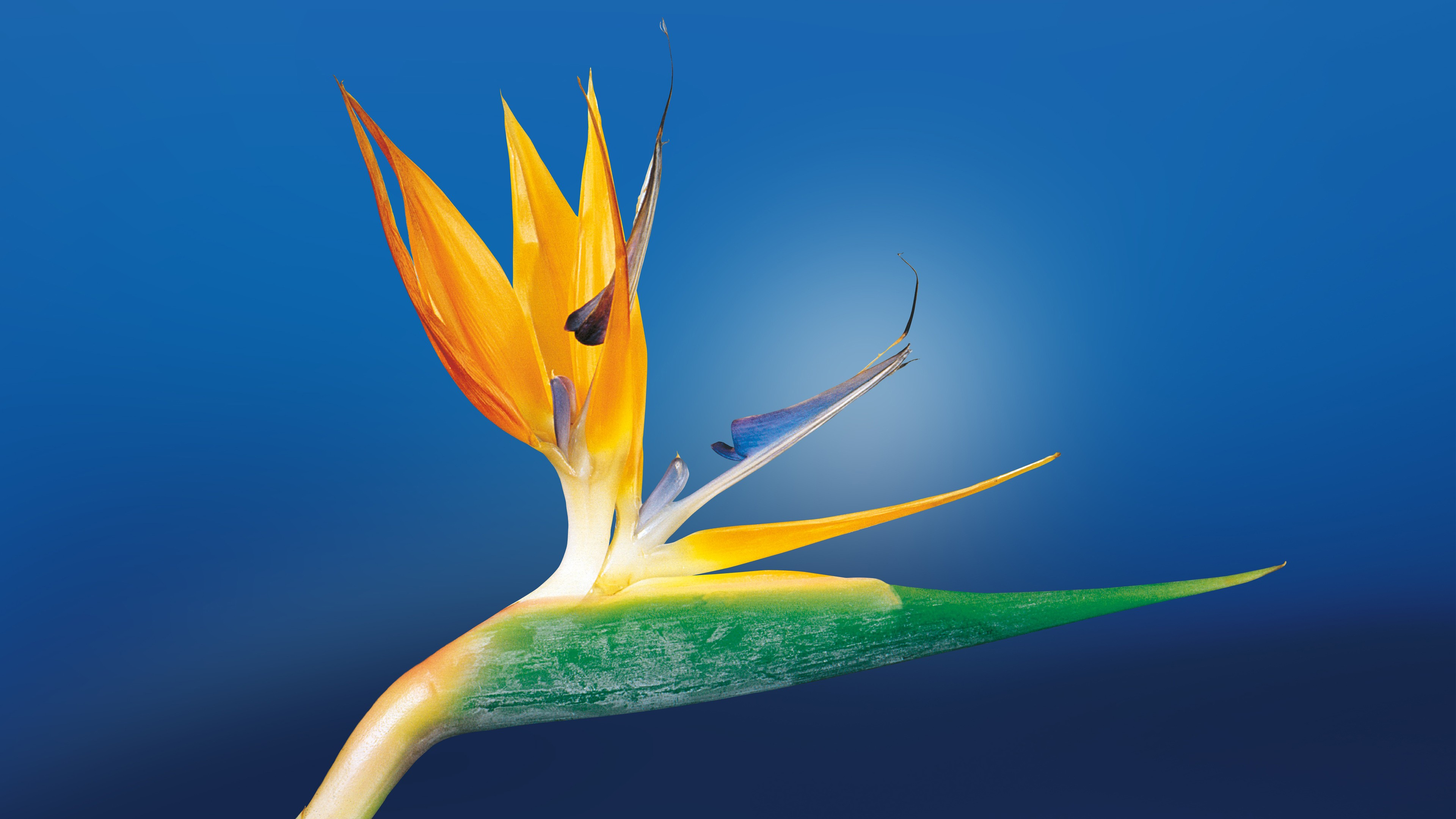 Bird Of Paradise Hd Wallpaper Bird Of Paradise Hd Flowers 4k Wallpapers Images