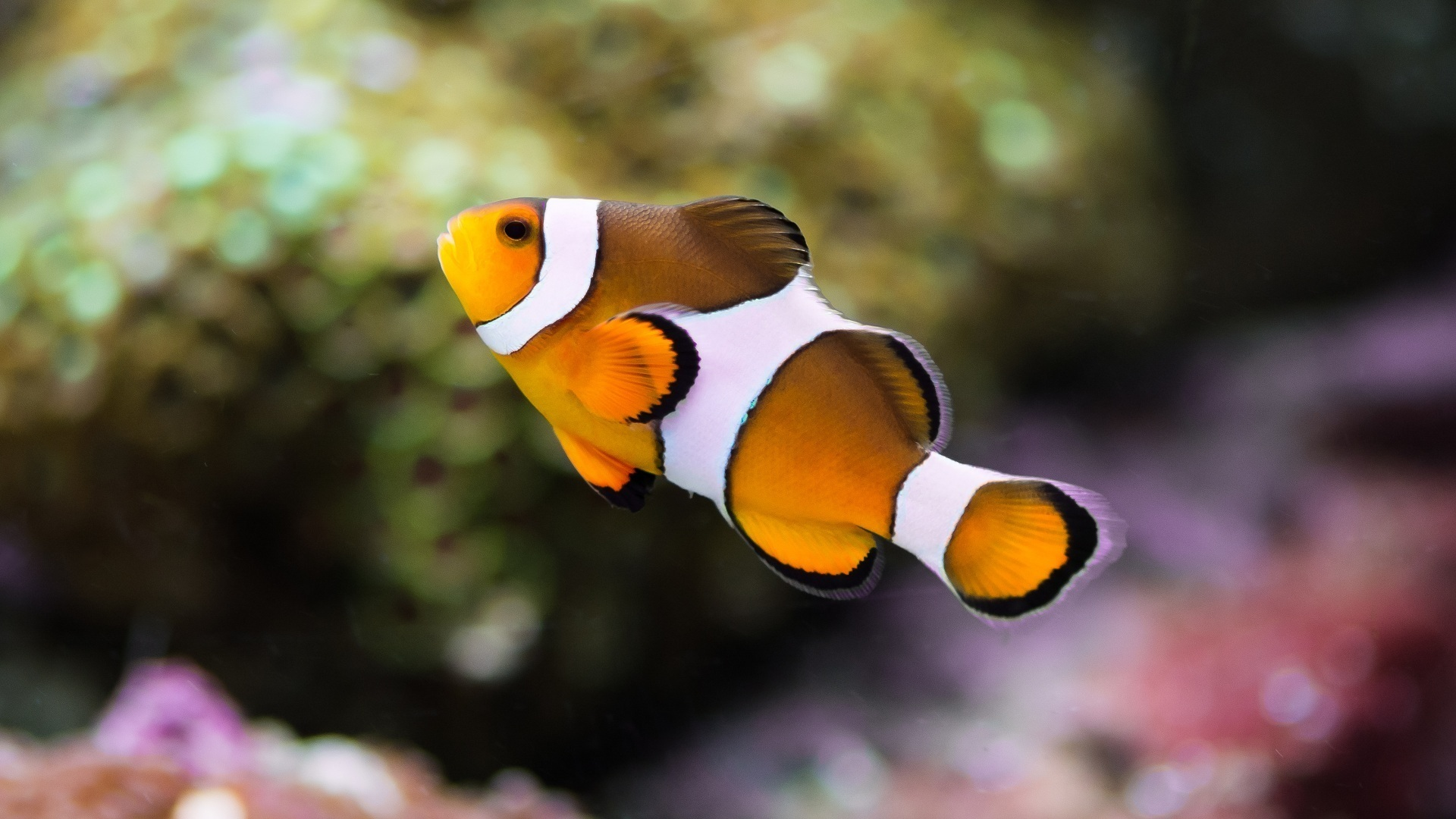 Cute Pet Animals Wallpapers Clownfish Hd Animals 4k Wallpapers Images Backgrounds
