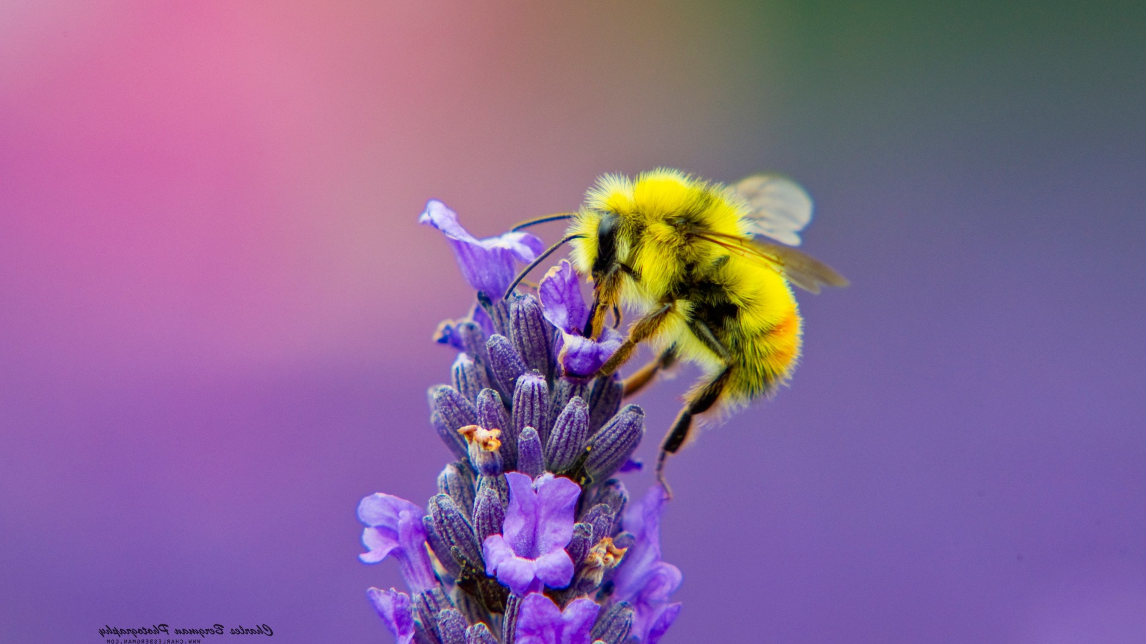 Cute Honey Bee Wallpaper Honey Bee Lavendar Nectar HD ...