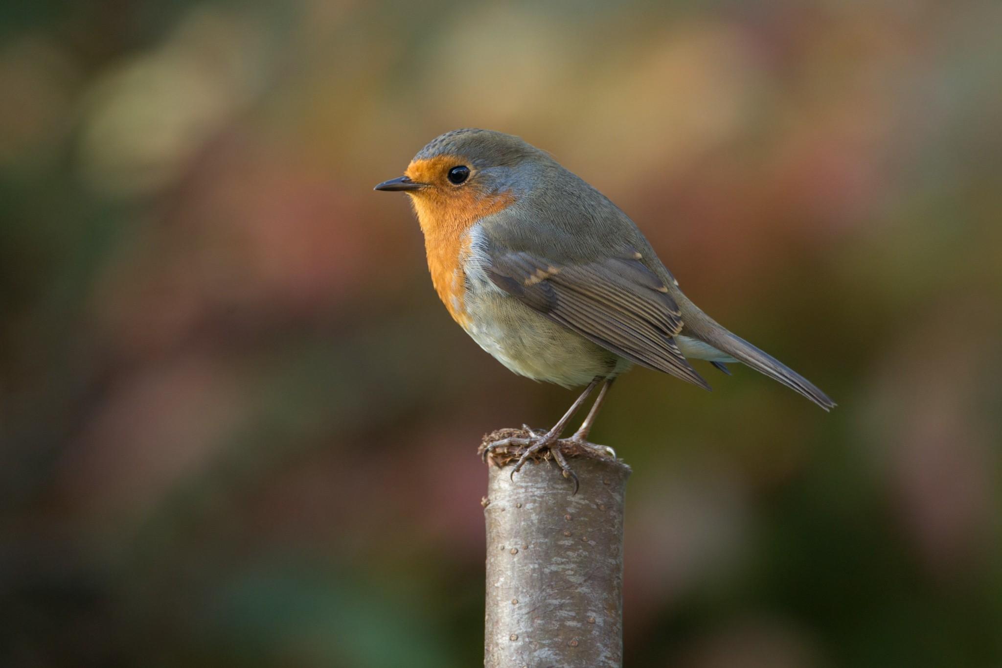 Robin Bird Photography, Hd Birds, 4k Wallpapers, Images