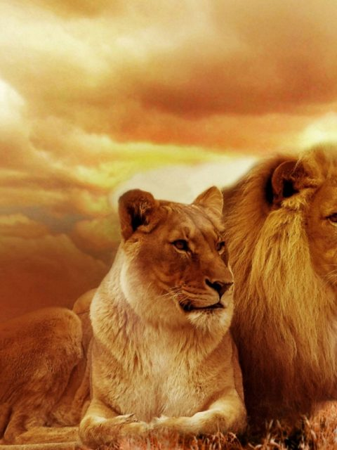 Beautiful Lion Hd Wallpapers Pictures Pc