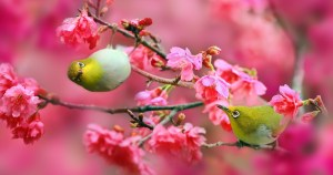 japanese-white-eye-birds-4096x2160