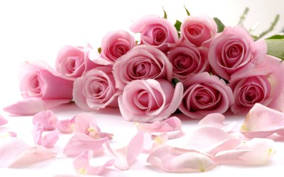 cute pink roses hd wallpapers rose flowers flower fresh floral pretty