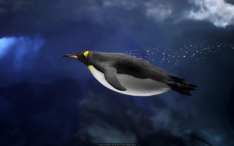 Underwater Penguins Birds Hd Wallpapers Desktop And Mobile Images Photos