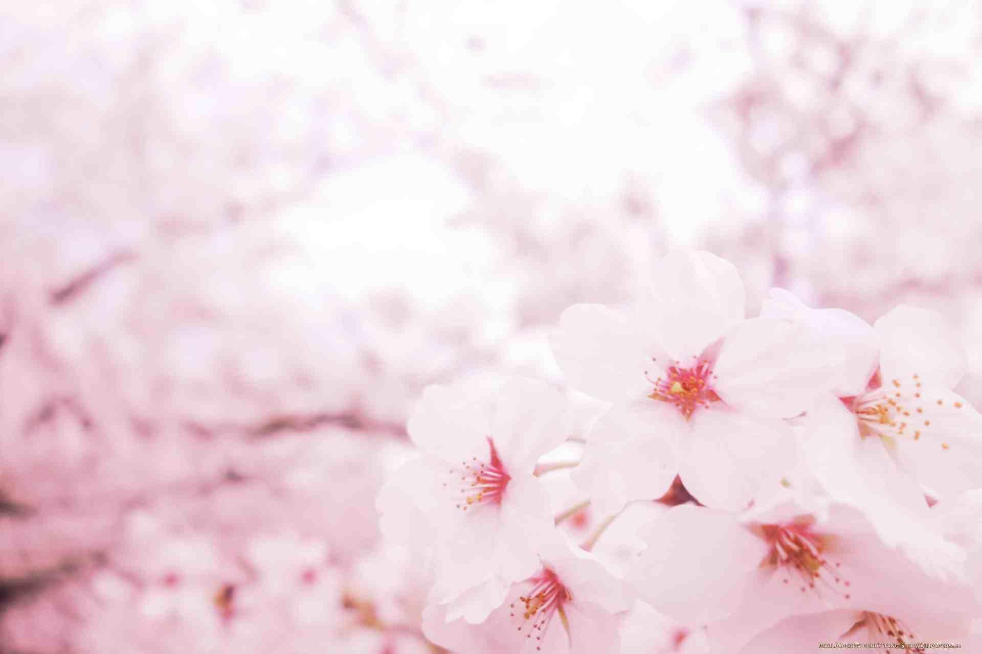 Pink sakura hd wallpapers - Sakura desktop ...