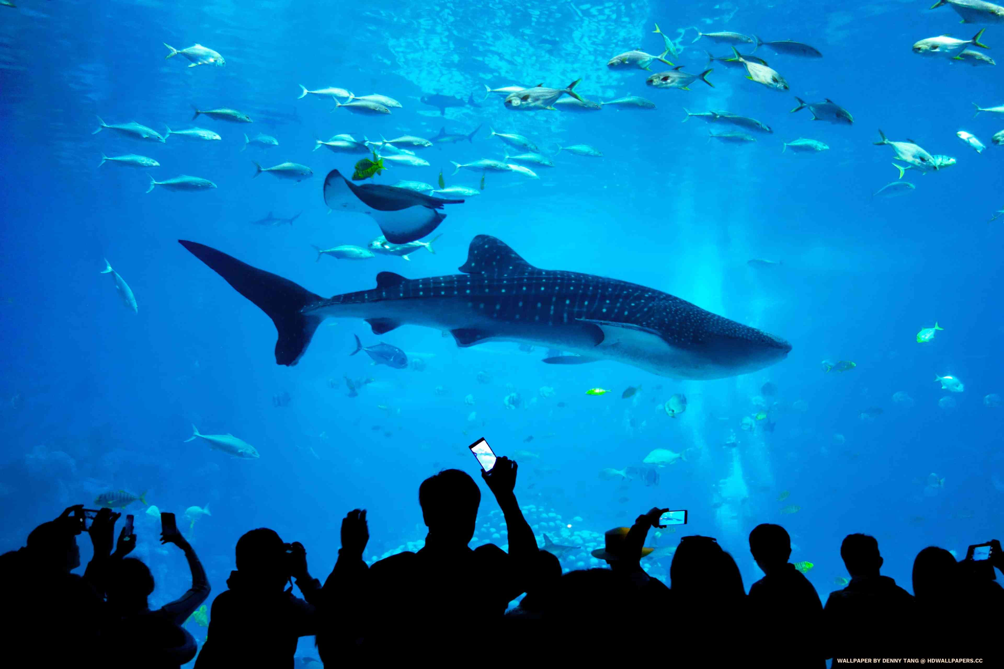 whale shark aquarium hd wallpapers