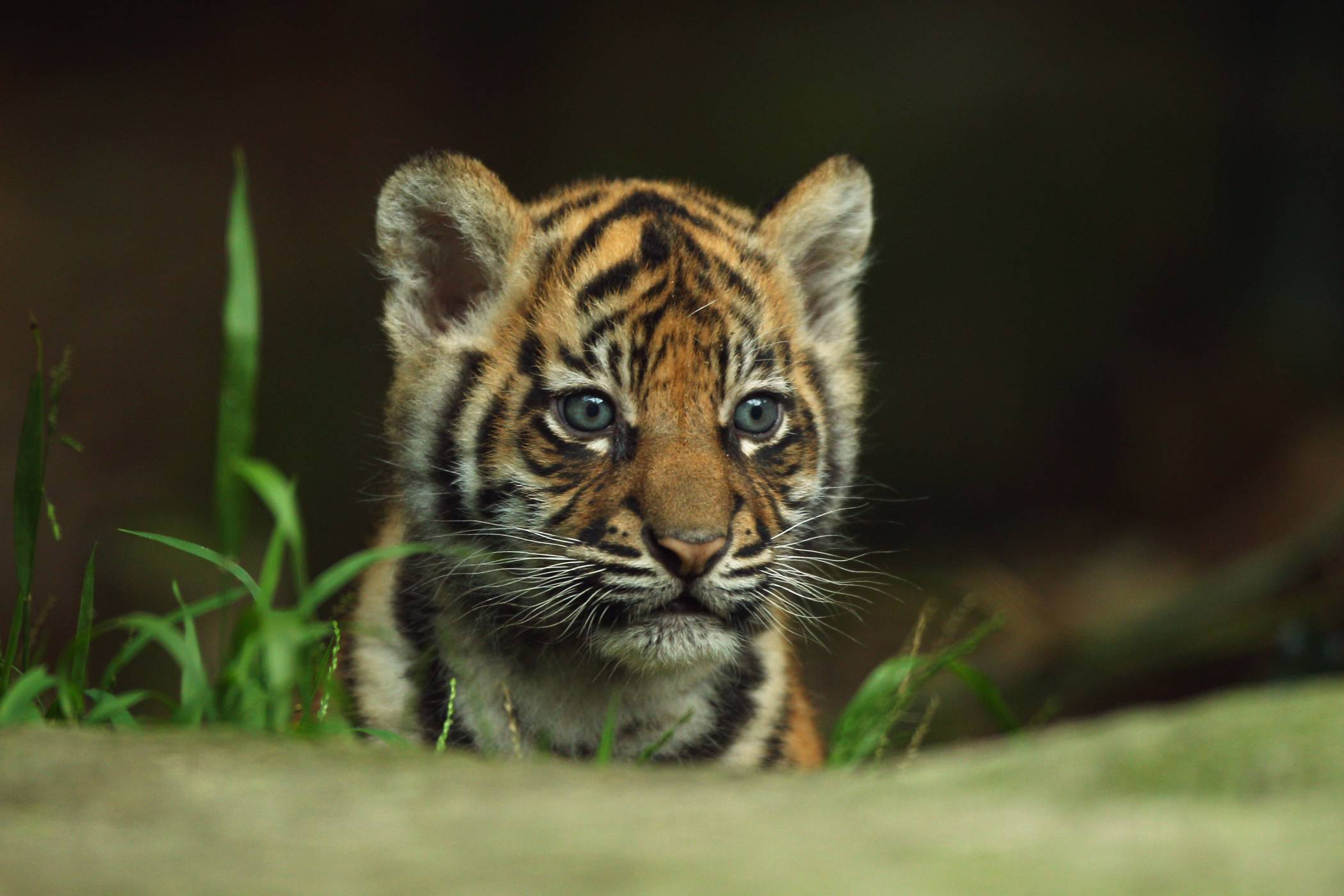 baby tiger pictures 30503 2100x1400 px ~ hdwallsource