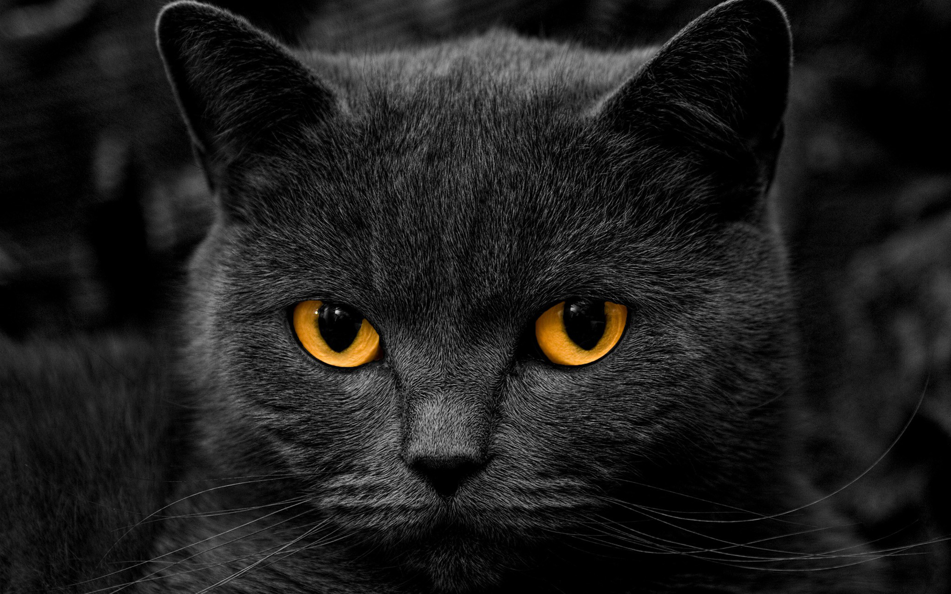 awesome black cat wallpaper 24147 1920x1200 px ~ hdwallsource