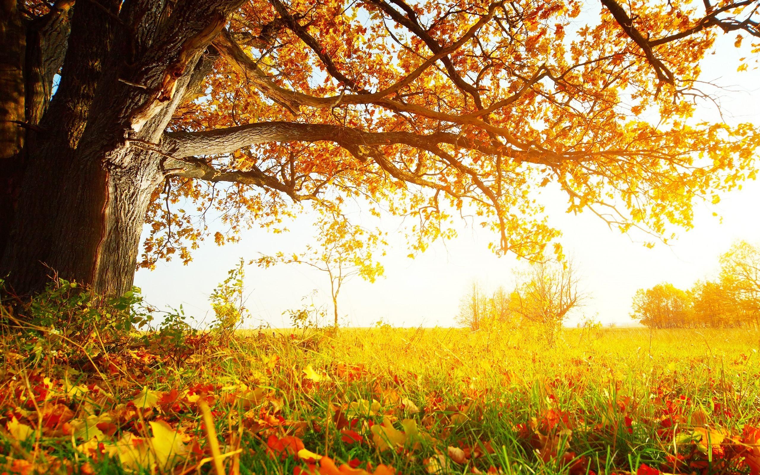 Fall Tree Hd 29504 2560x1600 Px