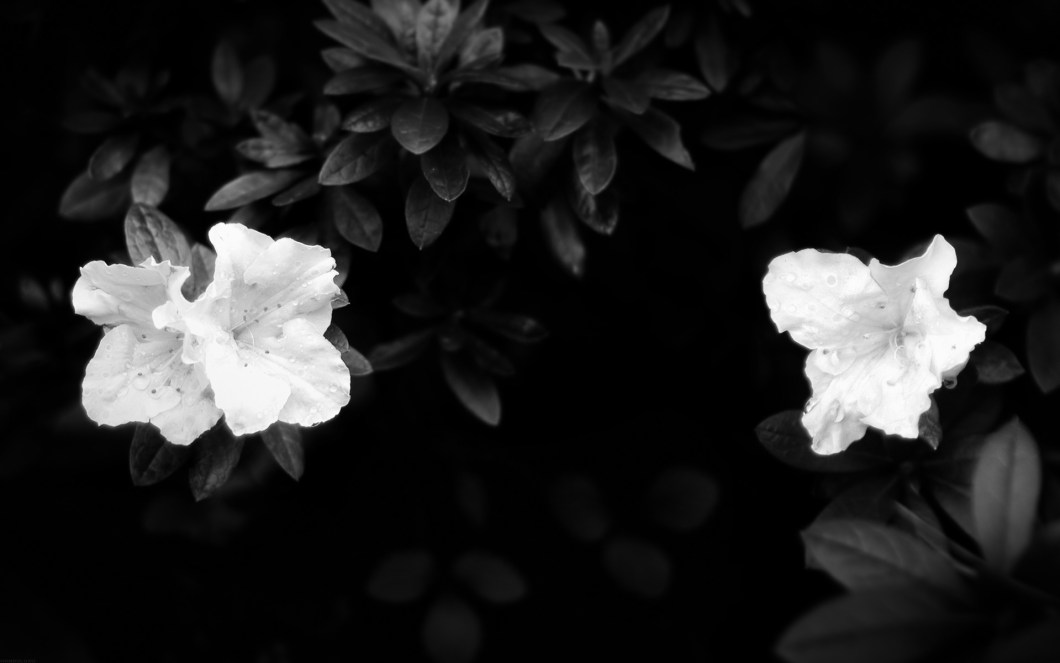 Wallpaper black flower imagewallpapers black flower wallpaper 32269 1920x1200 px hdwallsource com mightylinksfo