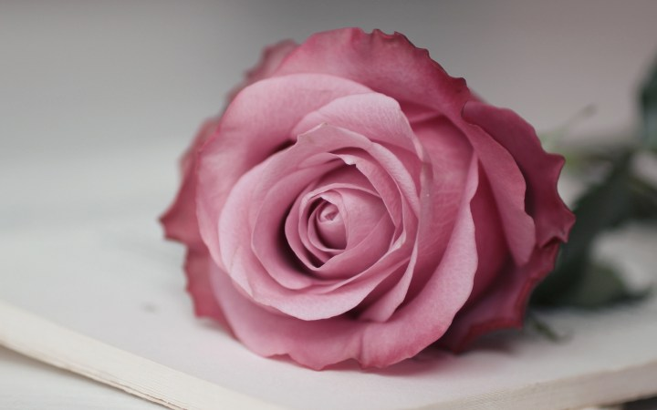 Pink Rose Wallpaper 46812 1920x1200 Px Hdwallsource Com