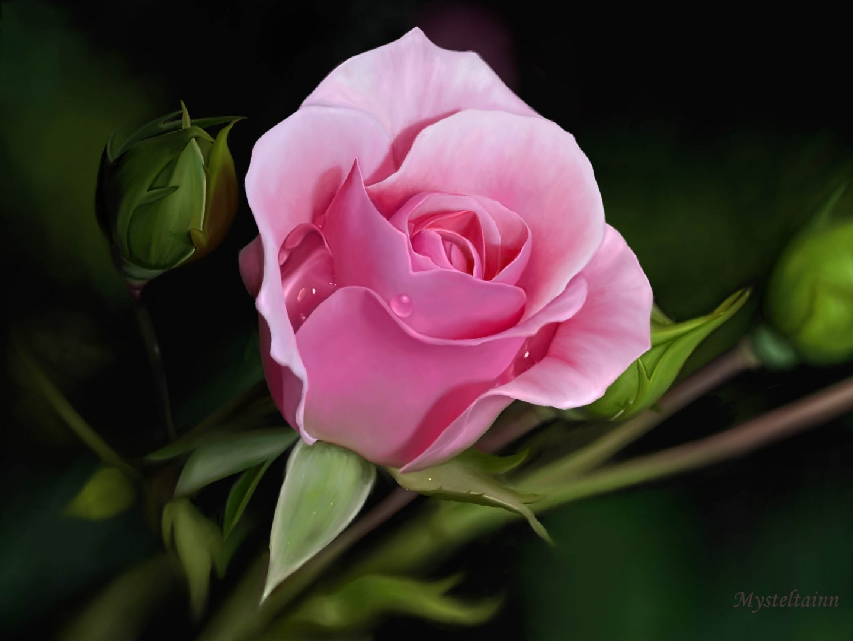 Good Night Hd Wallpaper 3d Gif Wallpaper Of Pink Rose 2782 Hdwpro