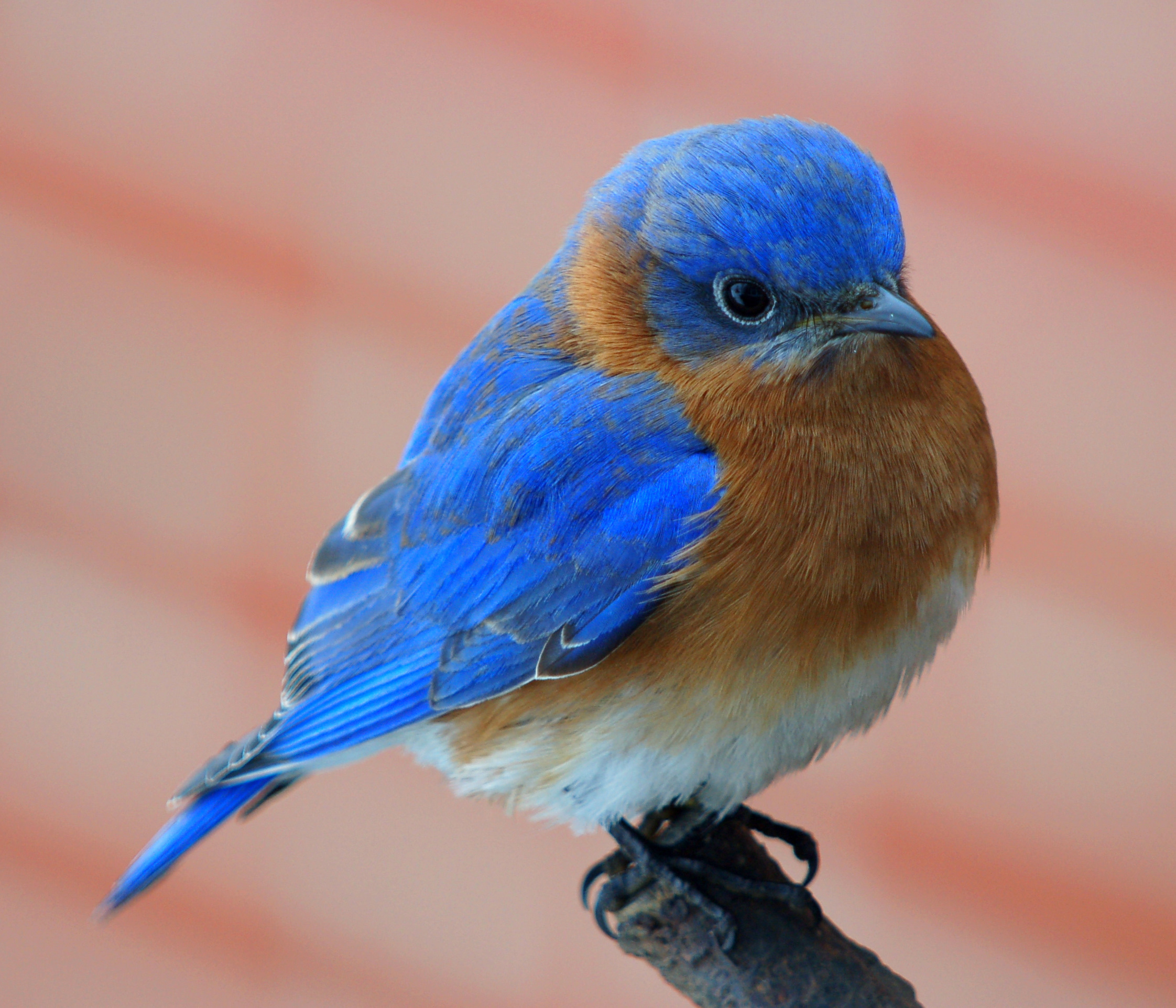 blue bird picture 5945 - hdwpro