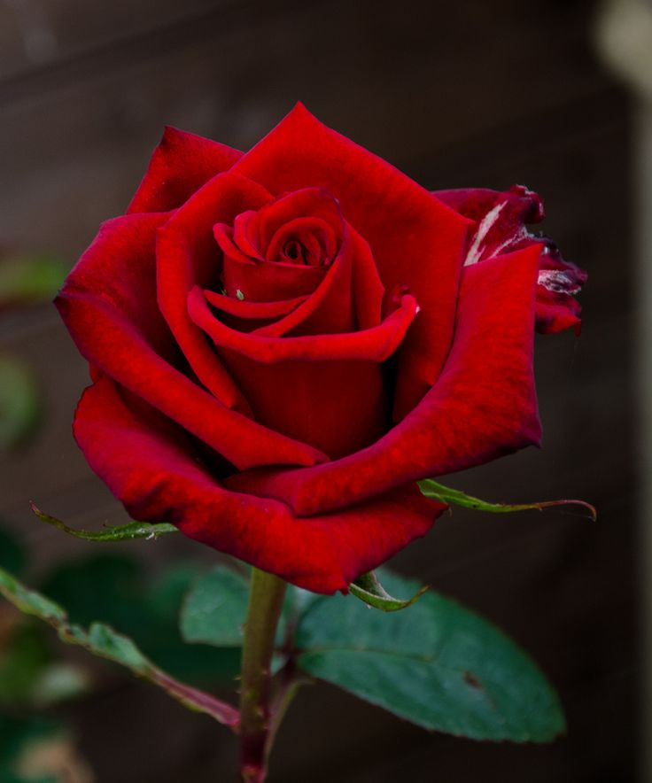 red rose photo download