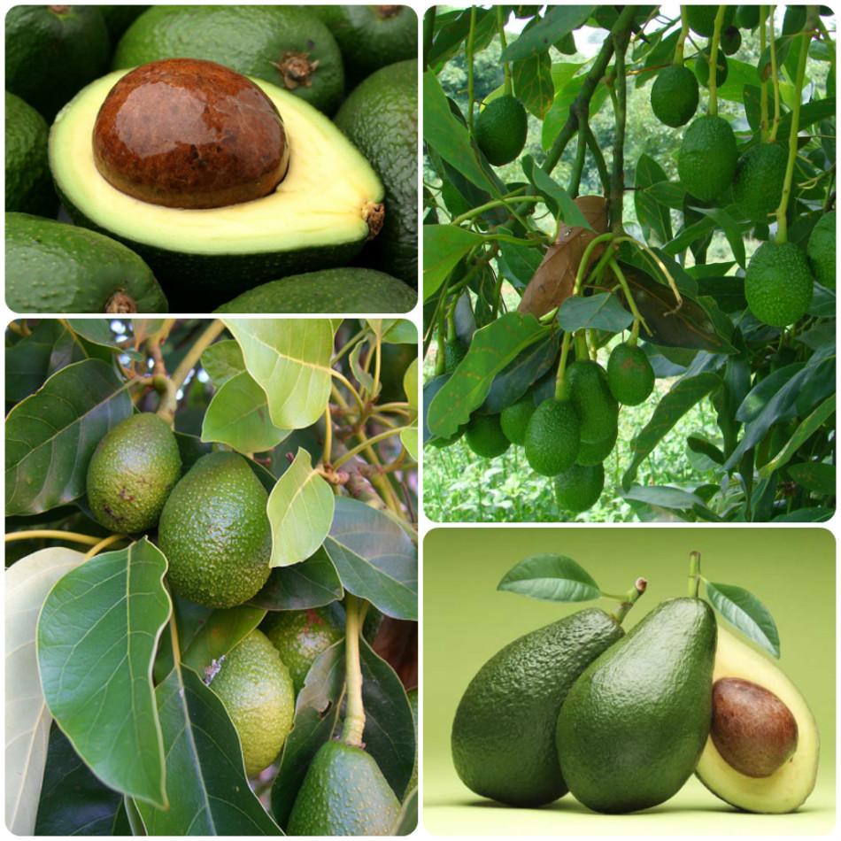 Проращивать и сажать косточку авокадо