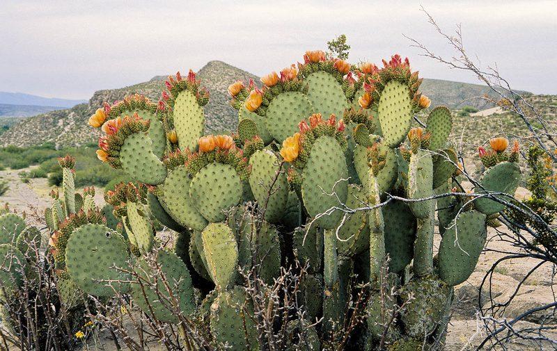 Opuntia Ficus-Indica Cactus