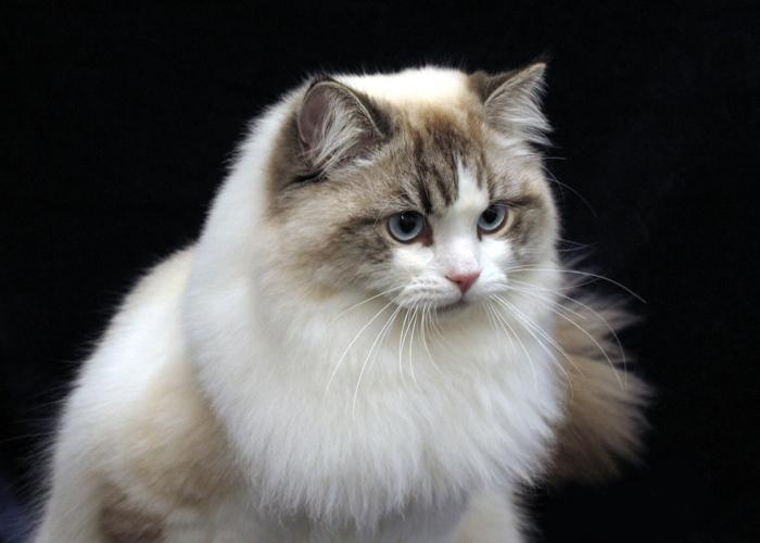 veľký ázijský chlpatý mačička