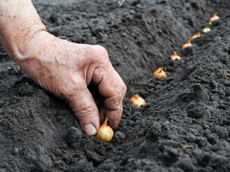 Подготовка грядки под лук севок