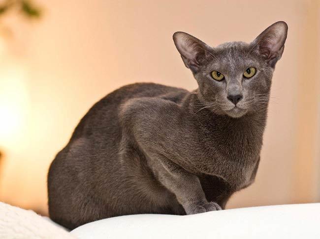 Drobné plešatý mačička pics